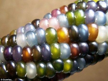 Loại ngô Glass Gem đa sắc màu được một nông dân gốc Cherokee trồng tự nhiên