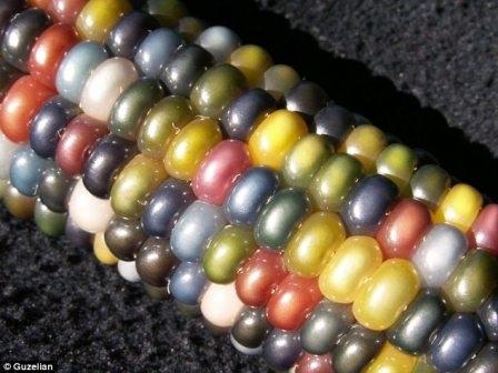 Các hạt ngô có màu sắc rực rỡ như những viên đá quý