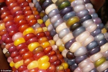 Một chủng ngô Glass Gem có thể tạo ra các chuỗi hạt màu xanh đậm hoặc màu trắng