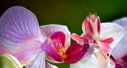 Cận cảnh loài bọ ngựa phong lan tuyệt đẹp