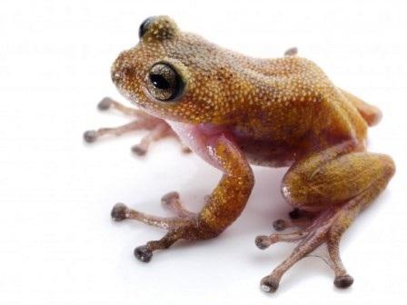 Chủng loại ếch mới có da màu hồng vàng và có gai đã được b