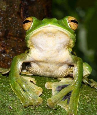Loại ếch có khả năng bay được phát hiện trước đó