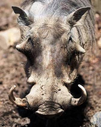 Lợn Warthog chính là nguồn gốc của nhân vật lợn rừng nổi tiếng