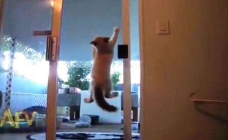 Với khả năng leo trèo đặc biệt, con mèođã được mệnh danh là