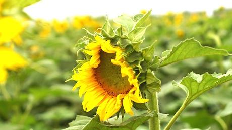 Sắc màu hoa hướng dương làm cho lòng người đến đây nhẹ nhõm hơn.