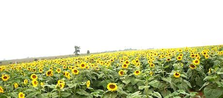 Cánh đồng hoa trải dài bất tận... tạo vẻ đẹp cho mảnh đất Phủ Quỳ.
