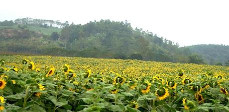 Cánh đồng hoa hướng dương có một không hai ở Việt Nam thì chỉ mảnh đất miền Tây xứ Nghệ này mới có.
