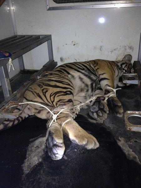 Hai cá thể hổ bị tiêm thuốc mê bởi các đối tượng buôn bán, bị quẳng xuống đường và bị thương.