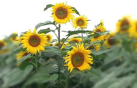 Đôi bạn trẻ tự sướng cho mình khi lạc vào cánh đồng hoa.