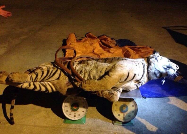 Cá thể hổ được vận chuyển về cơ q