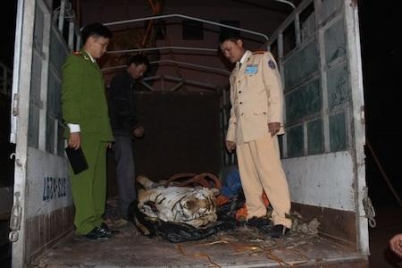 Cá thể hổ đã chết được vận chuyển trên xe tải nhỏ.