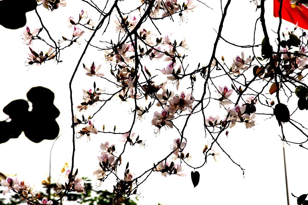 Hoa ban nở trắng khu vực mộ di tích bà Hoàng Thị Loan.