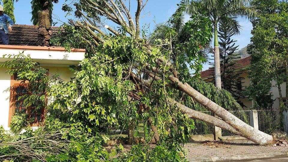 Sáng 20/6, cây được cán bộ nơi đây tiến hành cắt dọn.
