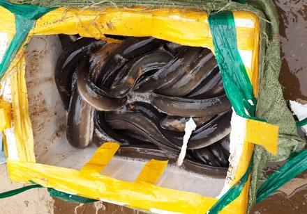 Số cá không có giấy tờ kiểm dịch tuồn vào Hà Nội để tiêu thụ
