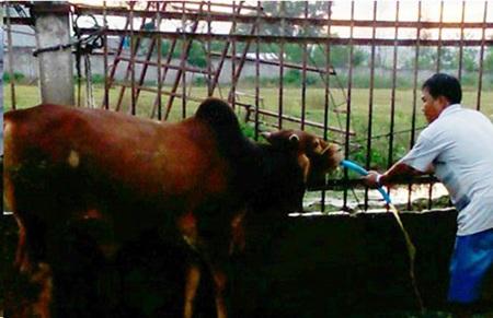 Cận cảnh bơm nước cho bò tại lò mổ Hiển và Danh. Ảnh: VĂN VŨ