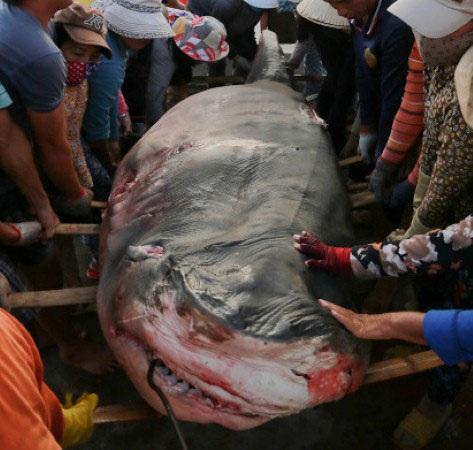 """Hình ảnh dữ dằn khủng khiếp của một con cá mập sau khi bị giết bởi các """"tráng sĩ câu cọp biển""""."""
