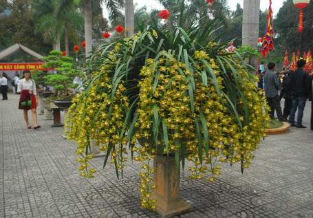 Chậu hoa địa lan Trần Mộng đẹp rực rỡ.
