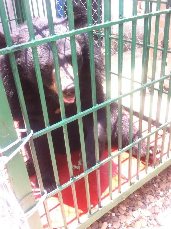 Con gấu ngựa hơn 10 tuổi được ông Bùi Đắc Quang hiến tặng cho VQG Hoàng Liên.