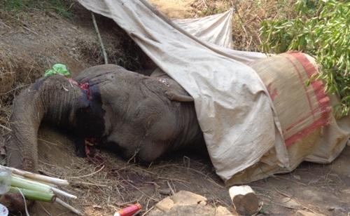 Thêm 1 con voi nhà tại Đắk Lắk gục chết (ảnh minh họa)