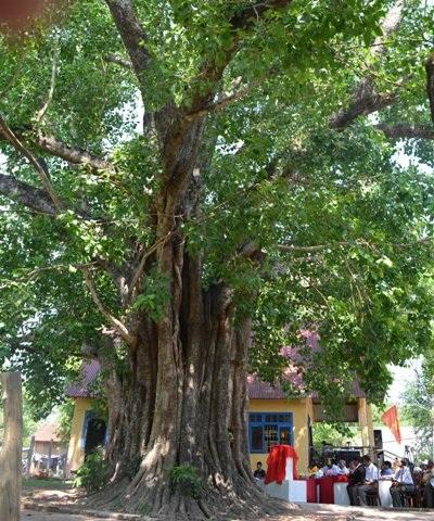Cây Bồ đề 132 năm tuổi được trồng tại huyện Buôn Đôn.