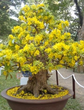 Mai cổ thụ với hoa 20 cánh, được nhiều du khách ngắm nghía và chụp ảnh