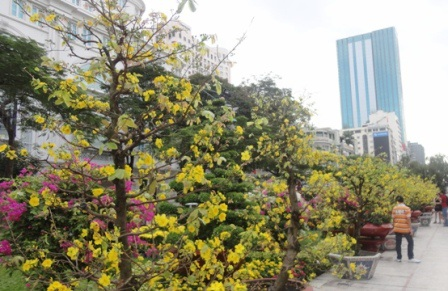 Mai vàng nở rộ trên Đường hoa Nguyễn Huệ