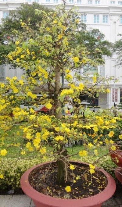 Những chậu mai hàng chục năm tuổi với hàng nghìn hoa