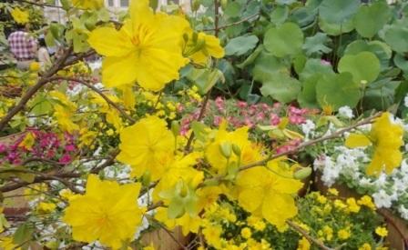 Nắng vàng rực rỡ càng tô điểm thêm cho vẻ đẹp của mai vàng