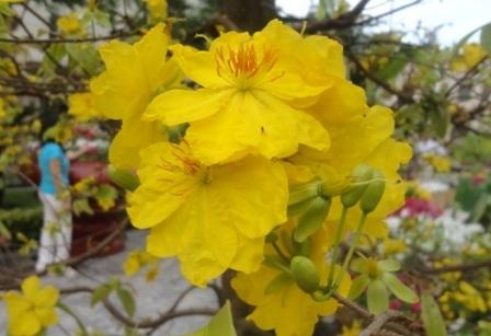 Sắc mai vàng góp cho mùa xuân một gam màu rực rỡ