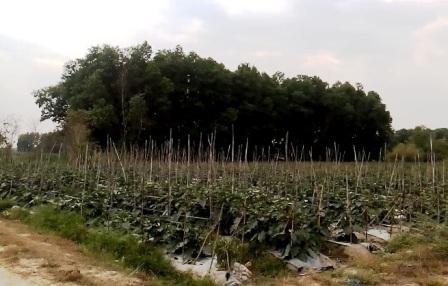 Ở vài khu đất tốt, người dân lén lút vào trồng rau màu