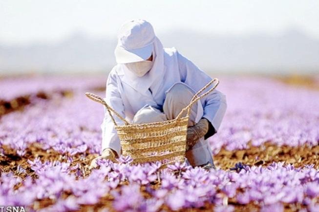 Một người nông dân Iran đang thu hoạch safran.