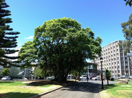 Cây phượng tím, một trong 21 loại cây mà chính quyền Sydney sẽ tặng cho người dân. (Ảnh: