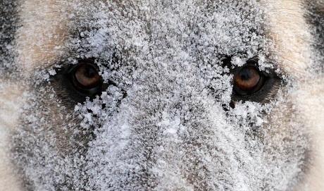 Nga: Một chú chó chạy chơi rất lâu dưới trời đổ tuyết, mặt chú cũng phủ đầy tuyết và sương giá.