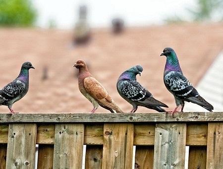Chim bồ câu đã sử dụng sóng âm thanh tần số thấp để lập bản đồ và tìm đường về nhà.