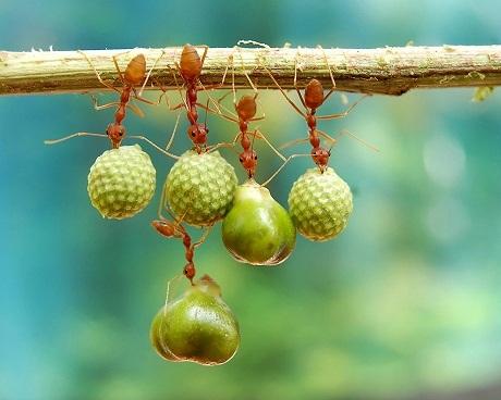 Thế giới tự nhiên – Những chú kiến nhặt hạt về tổ.