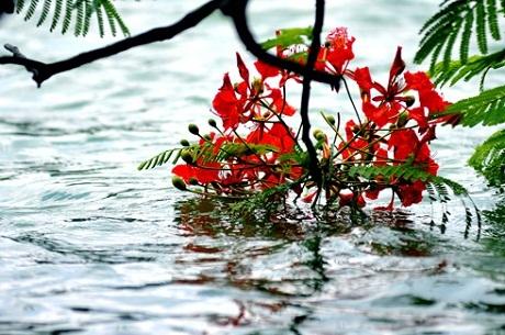 Hè đến nhớ về một loài hoa