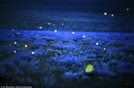 Những chú đom đóm trên thảo nguyên Tallgrass, phía bắc thành phố Cottonwood Falls, bang Kansas, Mỹ.