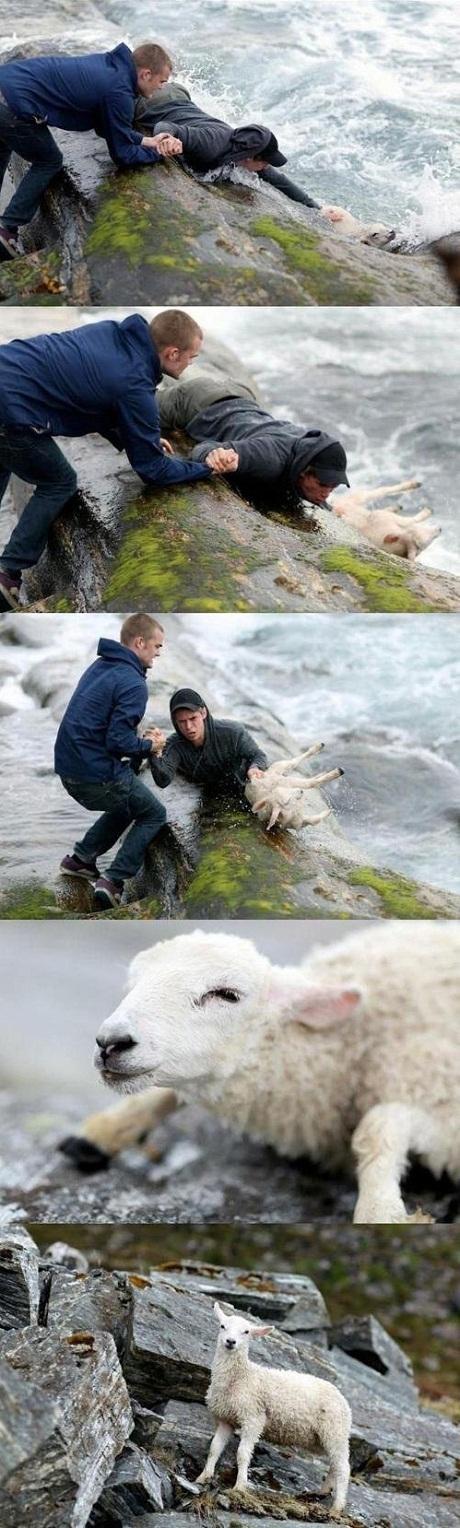 Hai người đàn ông ở Nauy cùng giải cứu một chú cừu bị rơi xuống biển.