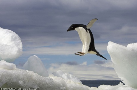 """Một chú chim cánh cụt """"bay"""" từ trên một tảng băng trôi xuống mặt nước."""