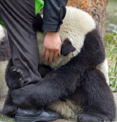 Một chú gấu trúc Trung Quốc hoảng sợ ôm lấy chân cán bộ kiểm lâm sau trận động đất.