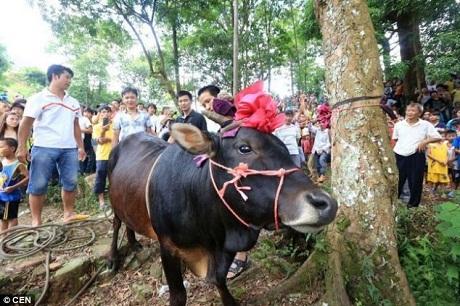 Trước khi bị treo lên cây, con bò được bước đi những bước tự do cuối cùng quanh gốc cây.