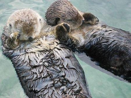 """Hai con rái cá """"yêu nhau"""" sẽ nắm tay nhau khi ngủ để không bị lạc nhau."""