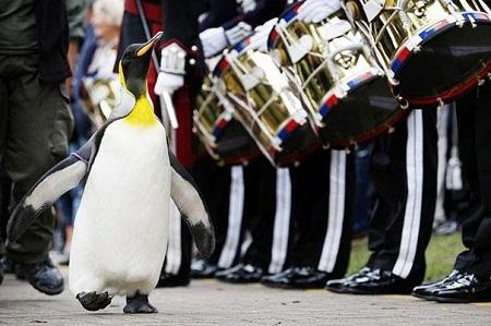 Đất nước Na Uy đã từng phong tước hiệp sĩ cho một chú chim cánh cụt.