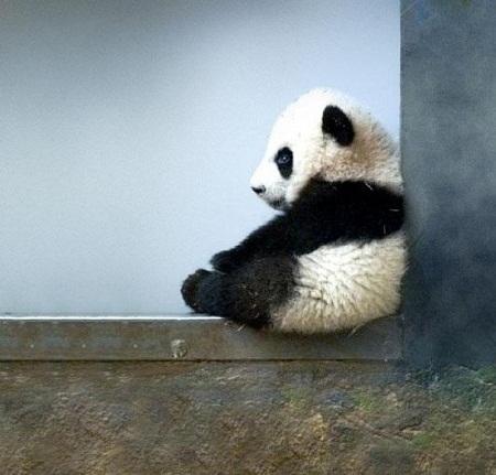 Ở Trung Quốc, việc giết chết một chú gấu trúc có thể bị xử tử hình.