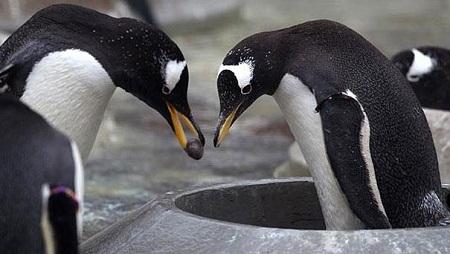 Những chú chim cánh cụt Ấn Độ thường cầu hôn người bạn đời của mình bằng một hòn cuội.