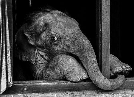 Chú voi con háo hức khi thấy người quản tượng.