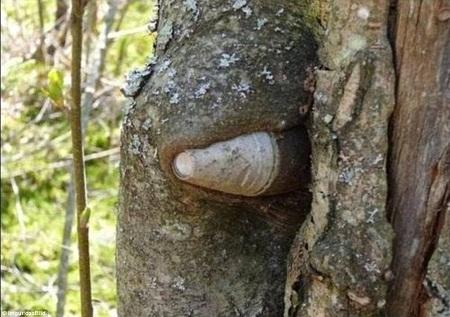 Một quả đạn pháo nằm gọn trong thân cây.