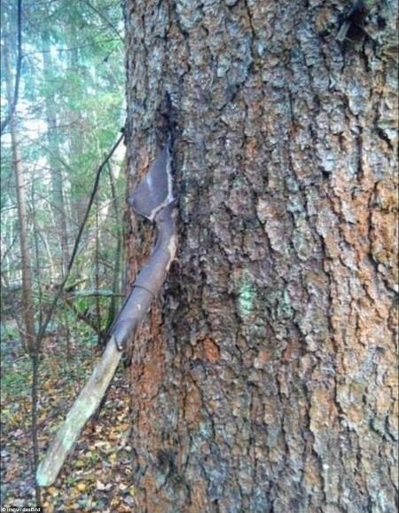 """Một chiếc xẻng bị thân cây """"nuốt chửng""""."""