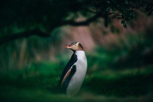 Chim cánh cụt mắt vàng ở thành phố Dunedin.