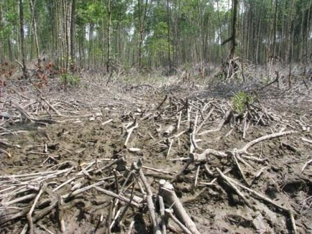 Nhiều diện tích rừng bị chặt phá ở Cà Mau. (Ảnh: Huỳnh Hải)